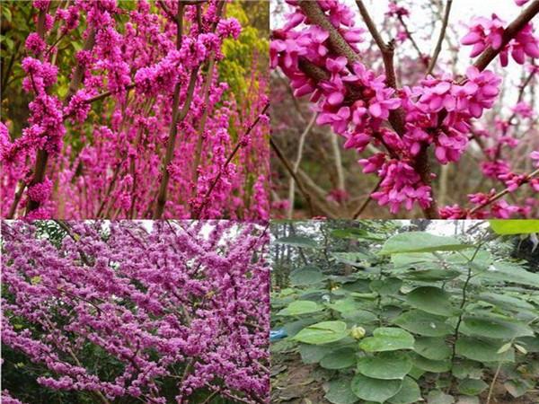 紫(zi)荊小苗