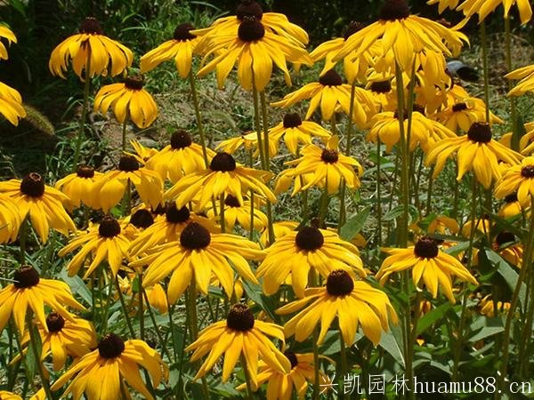 花丛中的黑心菊